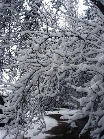 les prunus sous la neige